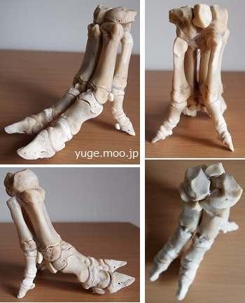 豚足の骨格標本完成